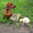 Dachshund and two small gooses on a green grass — Stock Photo