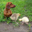 Stock Photo: Dachshund and two small gooses on a green grass
