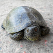 Stock Photo: Marsh turtle