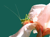 Green grasshopper on a peach iris, macro. — Stock Photo