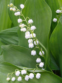 Gentle lilies of the valley with green leaves — Stock Photo