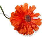 Red poppy on a white background — Stock Photo