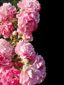 Pink roses on a black background — Stock Photo