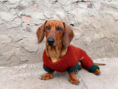 Dachshund in clothes — Stock Photo