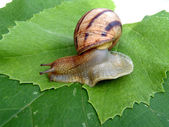 Grape snail — Stock Photo