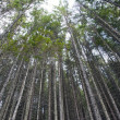 Pine forest — Stock Photo #14074569
