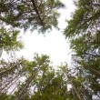 Pine forest — Stock Photo #14074570