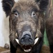 Staring funny boar — Stock Photo