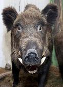 Komik domuzu bakıyor — Stok fotoğraf