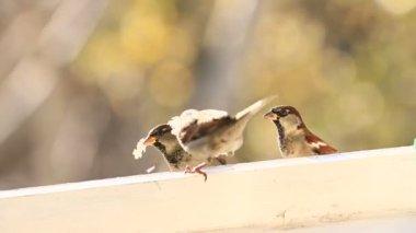 Sparrows — Stock Video
