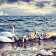 Swans in sea — Stock Photo