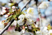 Blossoms of a cherry tree — Stock Photo