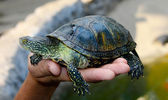 Small tortoise (turtle) in hand — Stock Photo