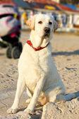 Labrador Retriever dog is guarding buggy  — Stock Photo