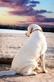 Labrador retriever dog looking at the sea and the sunset  — Stock Photo