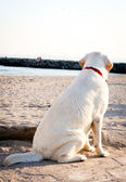 Labrador retriever dog looking at the sea and sky — Stock Photo