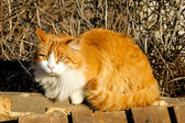 Orange and white cat  — Stock Photo