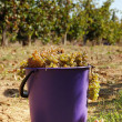 Harvest of grape — Stock Photo