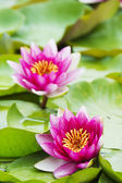 Summer blooming water lilies — Stock Photo