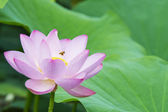 Summer blooming lotus — Stock Photo