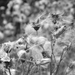 Stock Photo: Fluff wildflowers