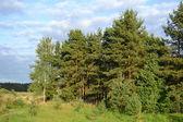 Çam ormanı — Stok fotoğraf