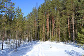 Forest in winter, sunny day — Stock fotografie