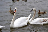 Swans on water — Stock Photo