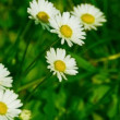 Chamomile moves in the wind — Wideo stockowe