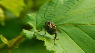 Fly on green leaf — Stock video