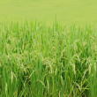 Green Terraced Rice Field — Stock Photo #35264653