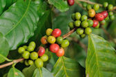 Close up coffee plants tree — Stock Photo
