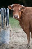 Rack-Kuh und neugierige Kuh — Stockfoto