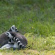 Stock Photo: Two lemurs embraced