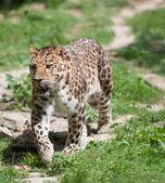 Panthera pardus — Stock Photo