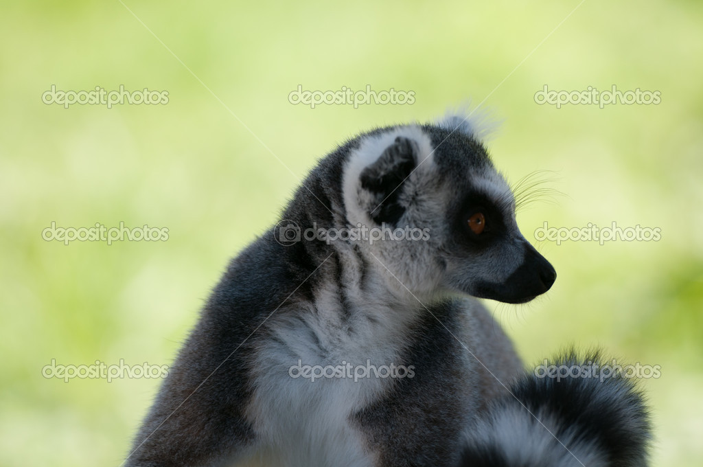 Closeup profile portrait of lemur looking on the right — Stock Photo #12552231