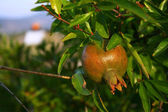 Pomegranate in garden — Stock Photo
