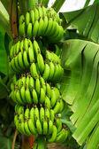 Drzewo bananowe — Zdjęcie stockowe
