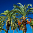Date palm — Stock Photo #14097415