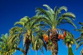 Date palm — Stock Photo