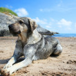 Dog lying on the beach — Stock Photo