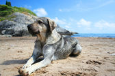 Dog lying on the beach — Stok fotoğraf