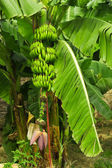 Green bananas on the tree — Stock Photo