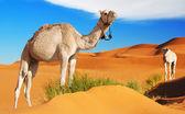 Kameler i sahara — Stockfoto