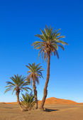Palms in the desert — Stock Photo