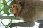 Angry monkey — Stockfoto