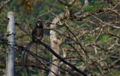 Dusky Langur — Photo