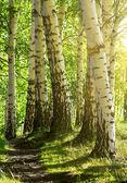 Foresta di betulle — Foto Stock