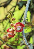 Cannonball tree flowers — Stockfoto