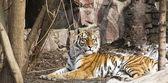 Tigre sdraiata — Foto Stock